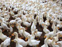 A madárinfluenza is berepült kis hazánk légterébe